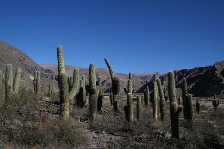 Cactussen langs de Ruta 9
