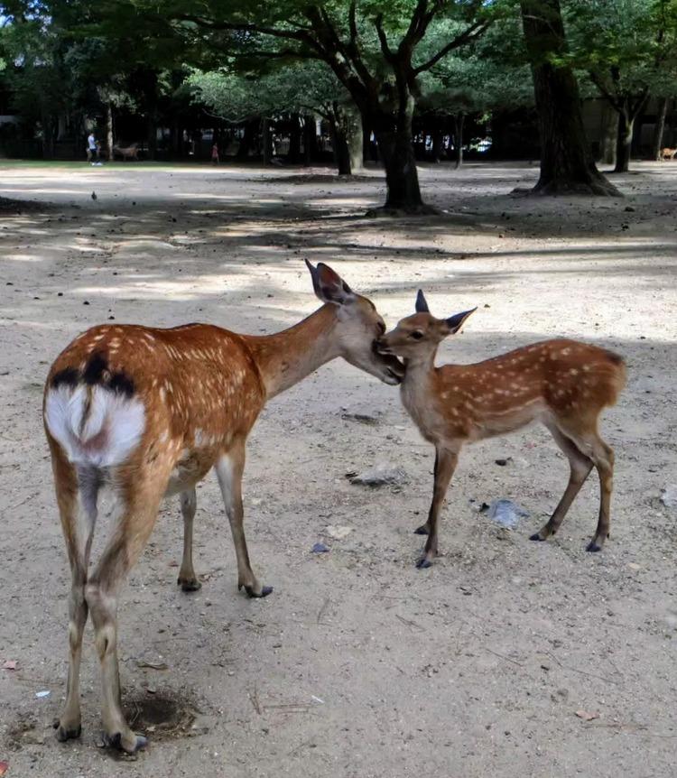 Nara herten