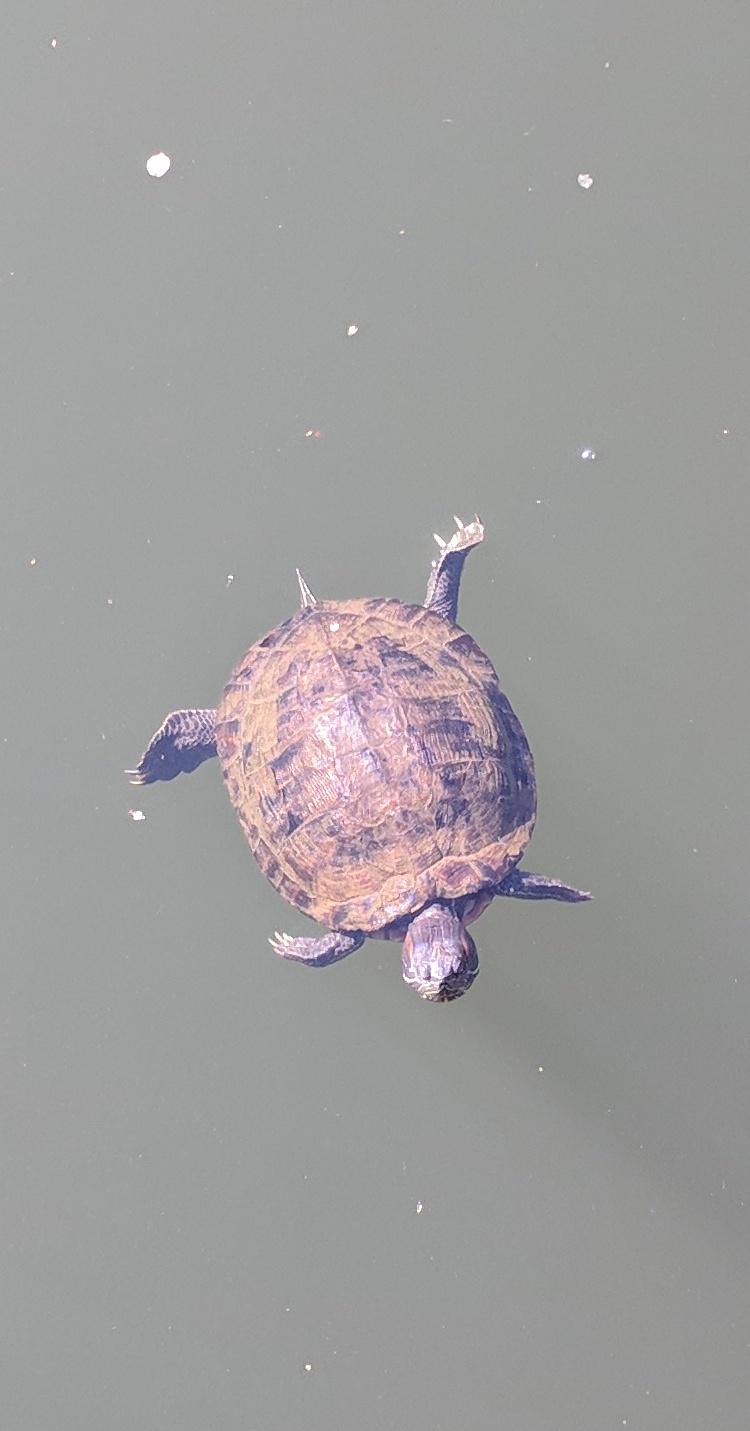 Turtle - Central Park
