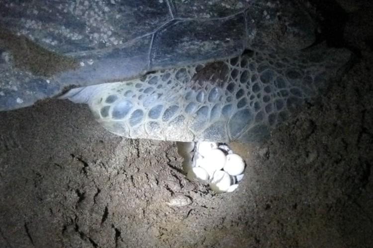 Eieren leggende schildpad op het strand van Galibi