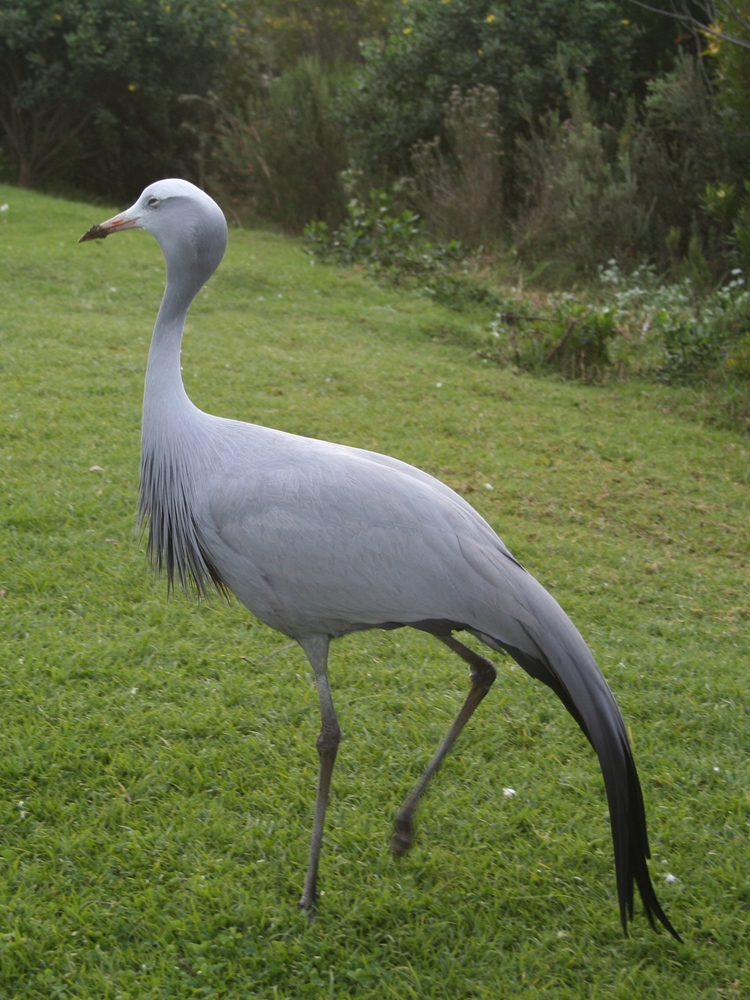 Paradijskraanvogel (Blue Crane) nationale vogel van Zuid-Afrika