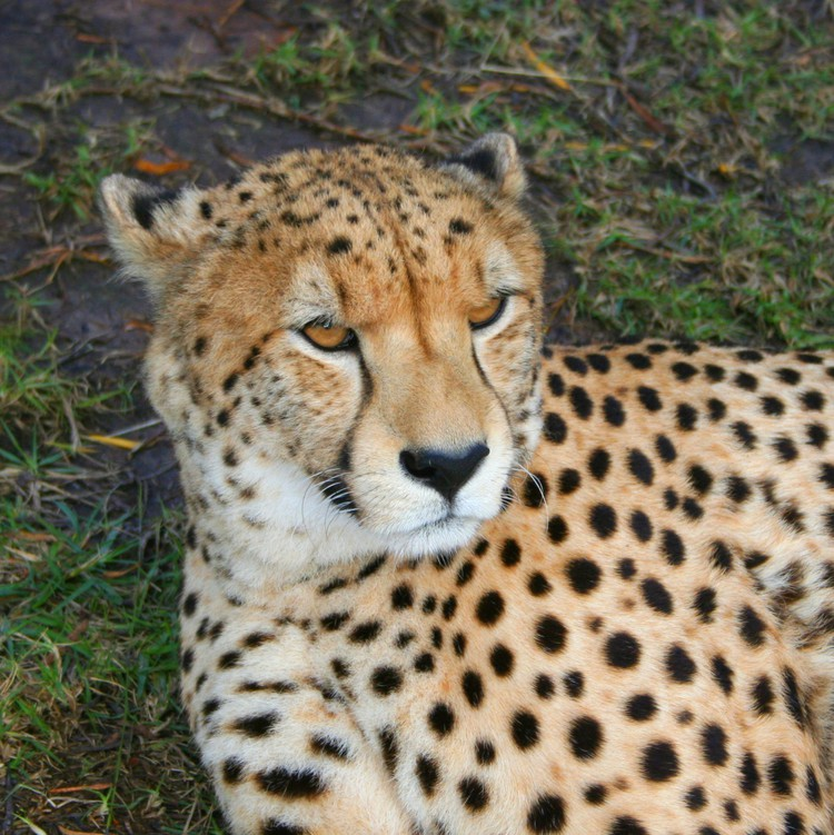 Cheetah in Tenikwa Wild Cat Sanctuary