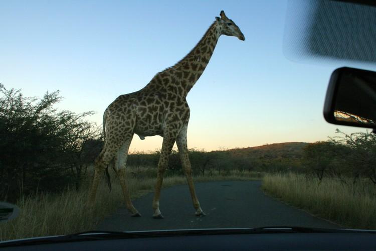 Girafzetting