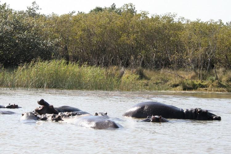 Badderende nijlpaarden